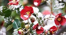 Camellia covered with snow