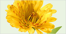 Calendula, 'Flower of the Sun'