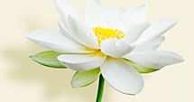 """Why do we call the lotus """"the purifying flower""""?</"""